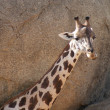 Baringo Giraffe - Giraffa camelopardalis rothschildii — Stock Photo #16390473