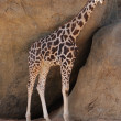 Baringo Giraffe - Giraffa camelopardalis rothschildii — Stock Photo #16391099