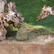 Baringo Giraffe - Giraffa camelopardalis rothschildii — Stock Photo #16391937