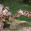 Baringo Giraffe - Giraffa camelopardalis rothschildii - Stock Photo