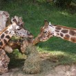 Baringo Giraffe - Giraffa camelopardalis rothschildii — Stock Photo #16392547