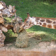 Baringo Giraffe - Giraffa camelopardalis rothschildii — Stock Photo #16392859