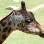 Baringo Giraffe - Giraffa camelopardalis rothschildii — Stock Photo