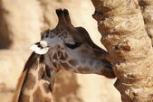 Giraffe - Giraffa camelopardalis — Stock Photo