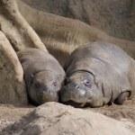 Pygmy Hippopotamus - Choeropsis liberiensis — Stock Photo