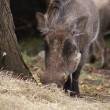 Stock Photo: AfricWarthog - Phacochoerus africanus