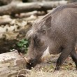 Stock Photo: Warthog - Phacochoerus africanus