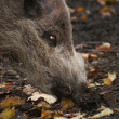 Stock Photo: Sus barbatus - Bearded Pig