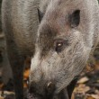 Sus barbatus - Bearded Pig — Stock Photo