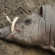 Buru Babirusa - Babyrousa babyrussa — Stock Photo