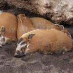 Red River Hog - Potamochoerus porcus — Stock Photo #18087971
