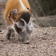 Red River Hog - Potamochoerus porcus — Stock Photo