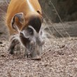 Red River Hog - Potamochoerus porcus - Stock Photo
