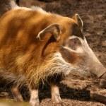 Red River Hog - Potamochoerus porcus — Stock Photo #18088019