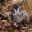 Red River Hog - Potamochoerus porcus — Stock Photo #18088037