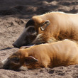 Stock Photo: Red River Hog - Potamochoerus porcus