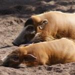 Red River Hog - Potamochoerus porcus — Stock Photo