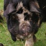 Kune Kune Pig - Sus scrofa domesttica — Stock Photo #18088107