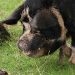 Kune Kune Pig - Sus scrofa domesttica - Stock Photo