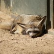 Bat-eared Fox - Otocyon megalotis - Stock Photo
