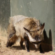 Stock Photo: Bat-eared Fox - Otocyon megalotis