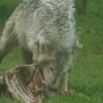 カナダ木材オオカミ - canis リュカーオーン — ストック写真