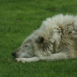 Canadian Timber Wolf - Canis lycaon — Stock Photo