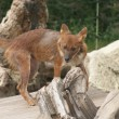 Dhole - Cuon alpinus lepturus - Stock Photo