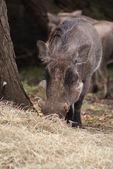 African Warthog - Phacochoerus africanus — Stock Photo