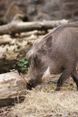 Warthog - Phacochoerus africanus — Stock Photo