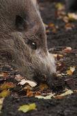 Sus barbatus - Bearded Pig — Stock Photo