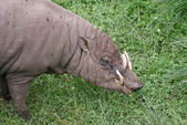 North Sulawesi Babirusa - Babyrousa celebensis — Stock Photo