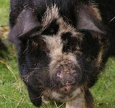 Kune Kune Pig - Sus scrofa domesttica — Stock Photo