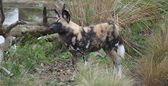 African Hunting Dog - Lycaon pictus — Stock Photo
