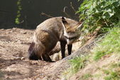 Bat-eared Fox - Otocyon megalotis — Stock Photo