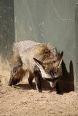 Bat-eared Fox - Otocyon megalotis — Stock Photo