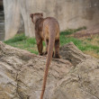 Fossa - Cryptoprocta ferox - Stock Photo