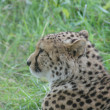 Cheetah - Acinonyx jubatus - Stock Photo