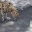Leopard - Panthera pardus — Stock Photo