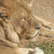 African Lion - Panthera leo - Stock Photo
