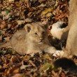 Stock Photo: Asiatic Lion Cub - Pantherleo persica