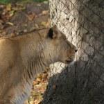 Asiatic Lion - Panthera leo persica — Stock Photo #18117809