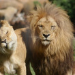 Katanga Lion - Panthera leo bleyenbergh — Stock Photo #18118147