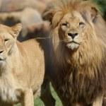 Katanga Lion - Panthera leo bleyenbergh — Stock Photo #18118165