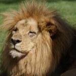 Katanga Lion - Panthera leo bleyenbergh — Stock Photo