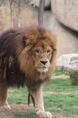 African Lion - Panthera leo — Stock Photo