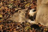 Asiatic Lion Cub - Panthera leo persica — Stock Photo