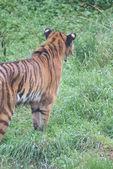 Siberian Tiger - Panthera tigris altaica — Stock Photo