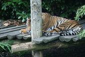 苏门答腊虎-中药底格里斯河 sumatrae — 图库照片