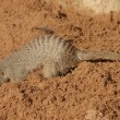 Banded Mongoose - Mungos mungo - Stock Photo